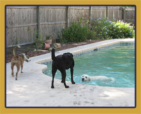 Dogs enjoying time together at our pool.